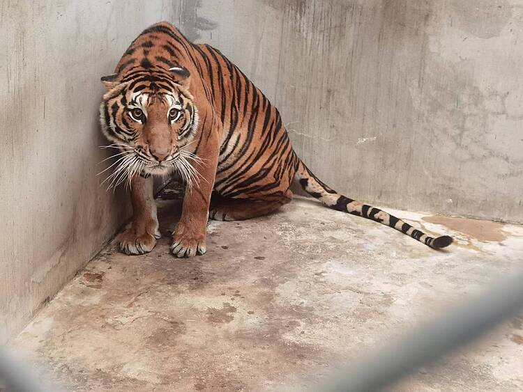 WWF commends closure of Thai zoo embroiled in illegal tiger trade allegations