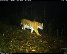 The images of the Tigress