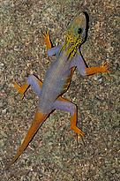 A new psychedelic gecko (Cnemaspis psychedelica) species was discovered in 2010 on Hon Khoai Island, Ca Mau Province, Ngoc Hien District, 18 km off the southern tip of the Ca Mu Peninsula in southern Vietnam.