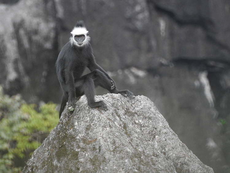 Endemic Lao Langur is now closer to extinction, WWF calls for more robust conservation efforts