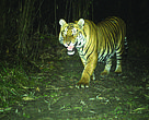 Four new tigers were recorded from the camera traps in Sarpang Forest Division