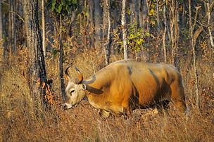 A Banteng in the Eastern Plains landscape - a key tiger prey species for the tiger