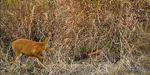 A Muntjac Deer in the Eastern Plains - a key tiger prey species