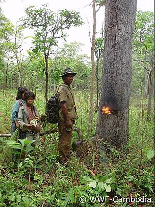 A resin-collector in Cambodia's Eastern Plains Landscape has lit a fire inside one of his regularly visited trees to induce the flow of liquid resin.