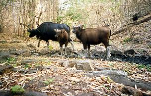 Gaur and calves caught by WWF-Cambodia SWA project camera trap