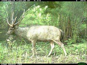 Sambar deer in dry forest taken by FA / WWF-Cambodia camera trap