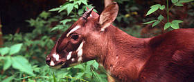 Saola (a.k.a Vu Quang ox). Four - five month old female at the Forest Inventory and Planning ...  © WWF / David HULSE