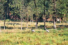 Sarus Cranes are also among the endangered species here.