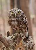 Asian Barred Owlet, Glaucidium cuculoides.