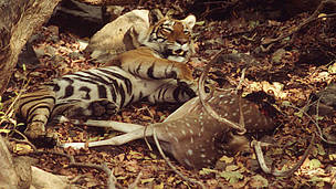 Indian tiger (Panthera tigris tigris) lying on the ground next to its prey, a spotted deer (Axis axis). Ranthambore National Park, Rajasthan, India.