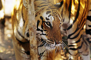 Tigers once roamed the forests of Cambodia.