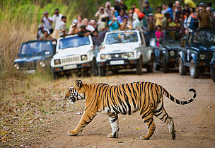 Bengal tiger (Panthera tigris tigris) crossing the road in front of watching tourists