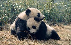 Giant pandas, panda  © Susan A. MAINKA / WWF