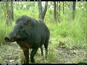 Wild Pig in dry forest taken by FA / WWF-Cambodia camera trap