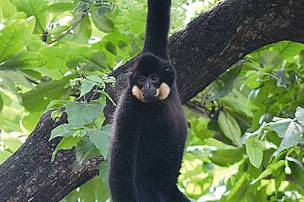 Yellow-cheeked Crested Gibbon, Nomascus gabriellae